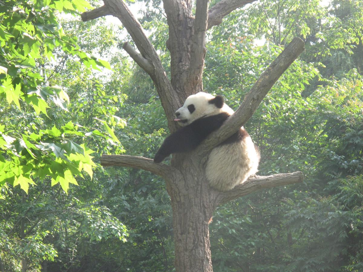 Panda base caps number of visitors during holiday