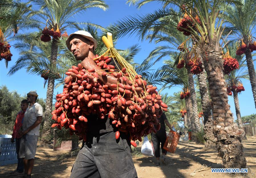 Dates harvested during annual harvest season in Gaza Strip