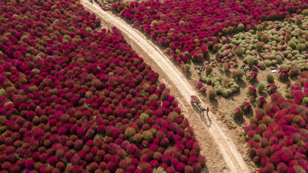 Harvest time comes to North China