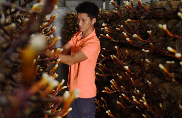 Special ganoderma industry boosts households' incomes in China's Fujian