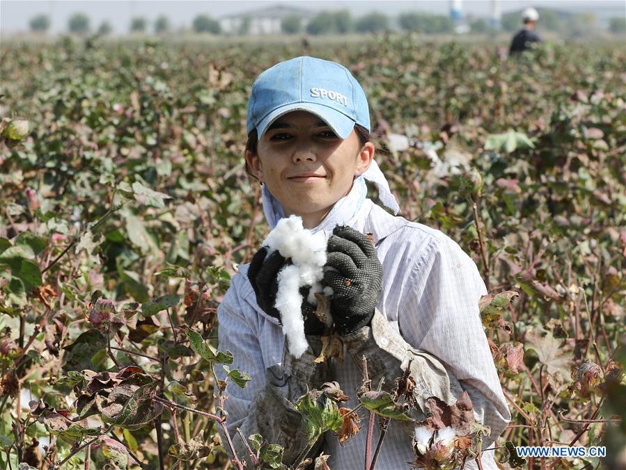 Cotton harvest season arrives in Uzbekistan