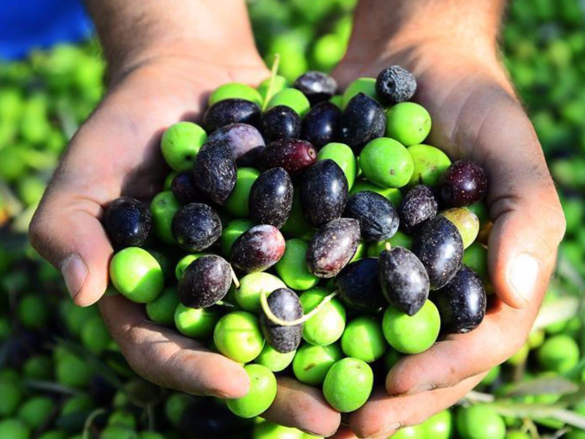 People harvest olives in Gaza Strip town of Jabalia