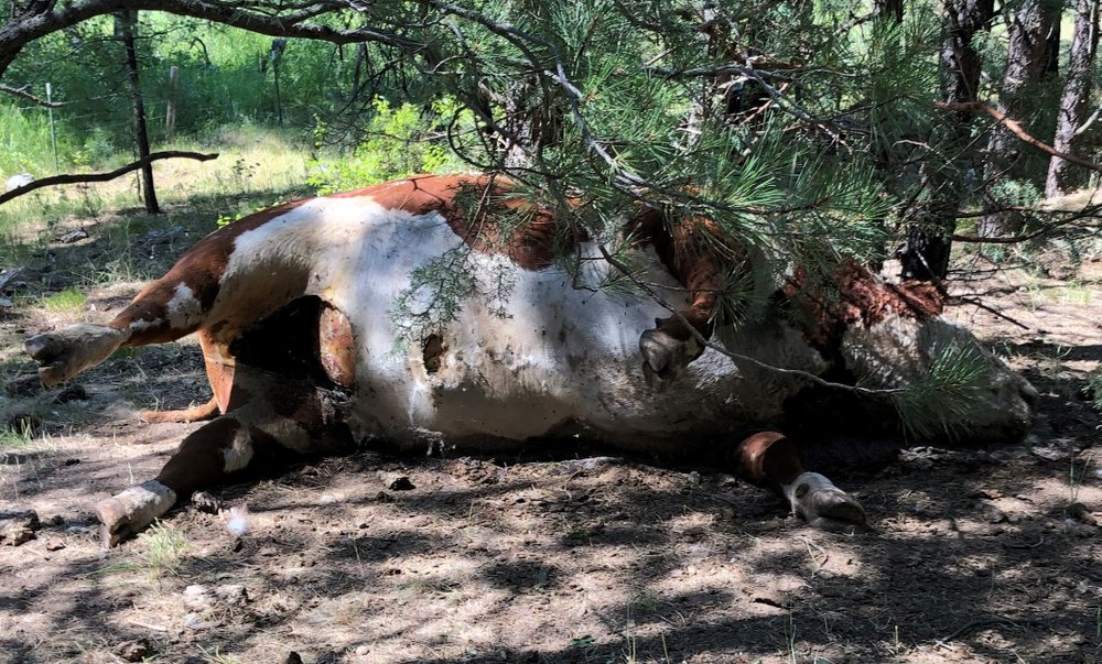 5 bulls found dead in Oregon; then the story gets weird