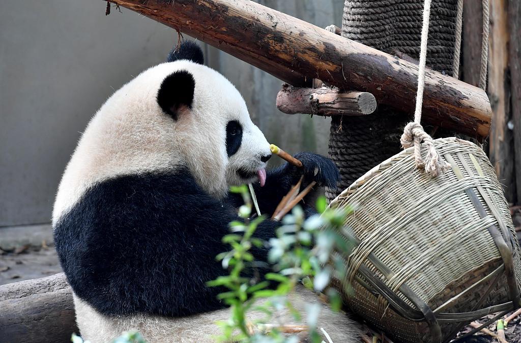 Giant panda cub born in Shanghai