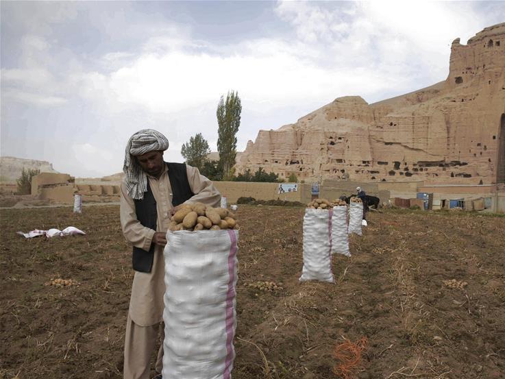 Afghan farmers work at potato farm in Bamyan province