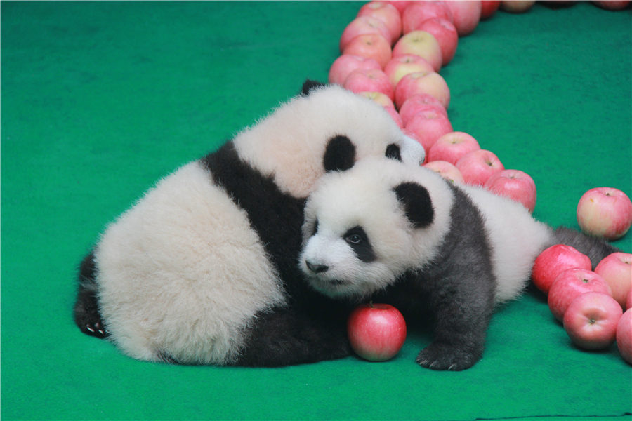 Country flirting with possible surplus of pandas