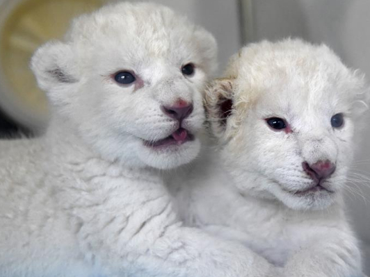 Pigeon pair of white lion cubs born in east China