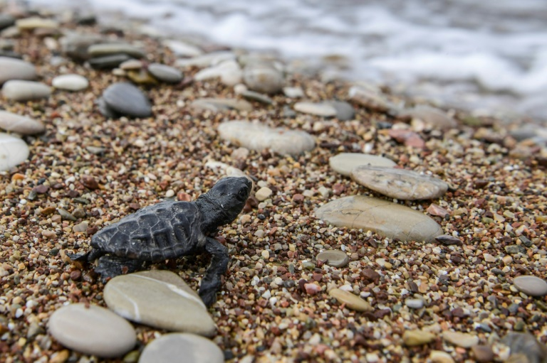 From Med's biggest nesting ground, turtles swim to uncertain future