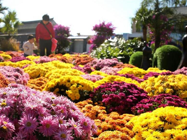 Chrysanthemum exhibition held in China's Hebei