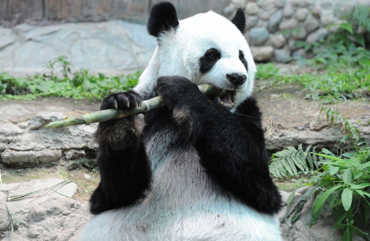 Chinese panda dies from heart failure: Thailand's Chiang Mai Zoo
