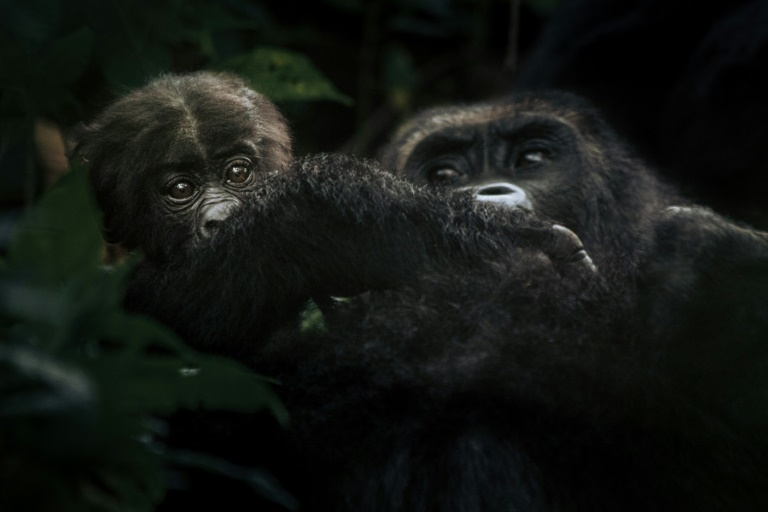 High-stakes conflict threatens DR Congo gorillas