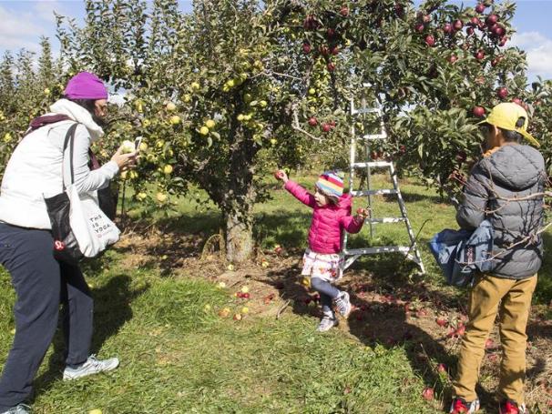 Apple harvest activity held in Toronto, Canada