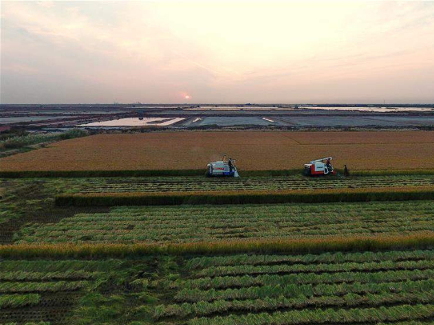 Rice enters harvest season in Tangshan, China' s Hebei