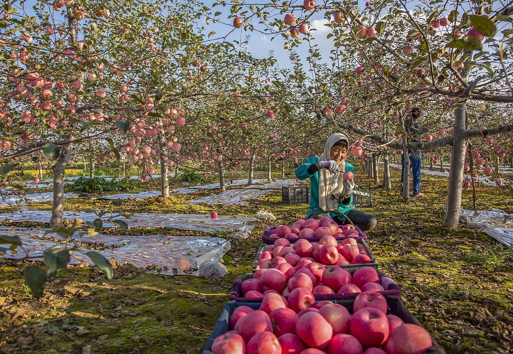 Apples reap harvest in desert city