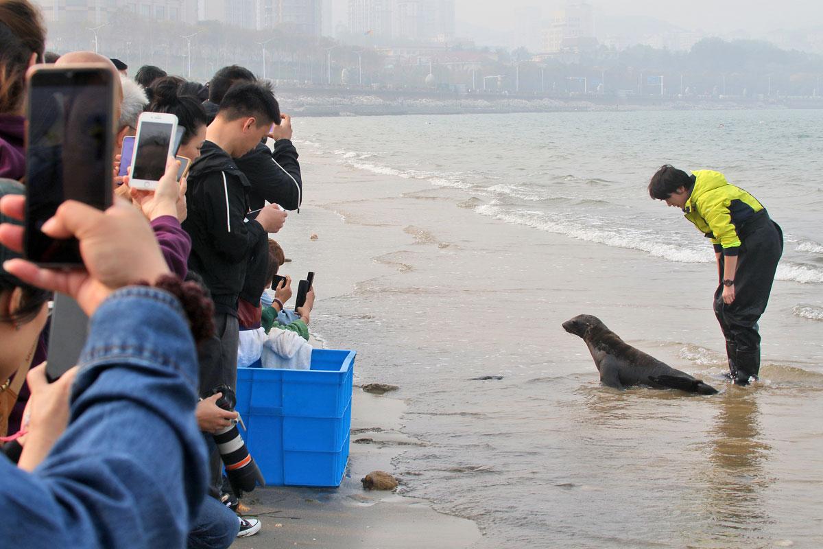 China's first artificial breeding Californian sea lion starts training in Yantai