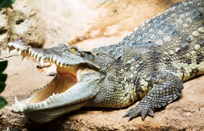Hundreds of smuggled crocodiles seized on China-Vietnam border