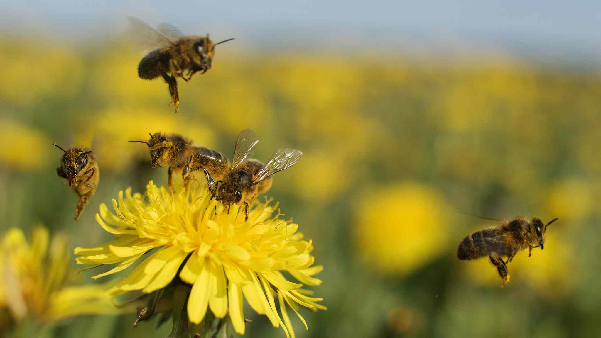 European lawmakers vote to strengthen bee protection