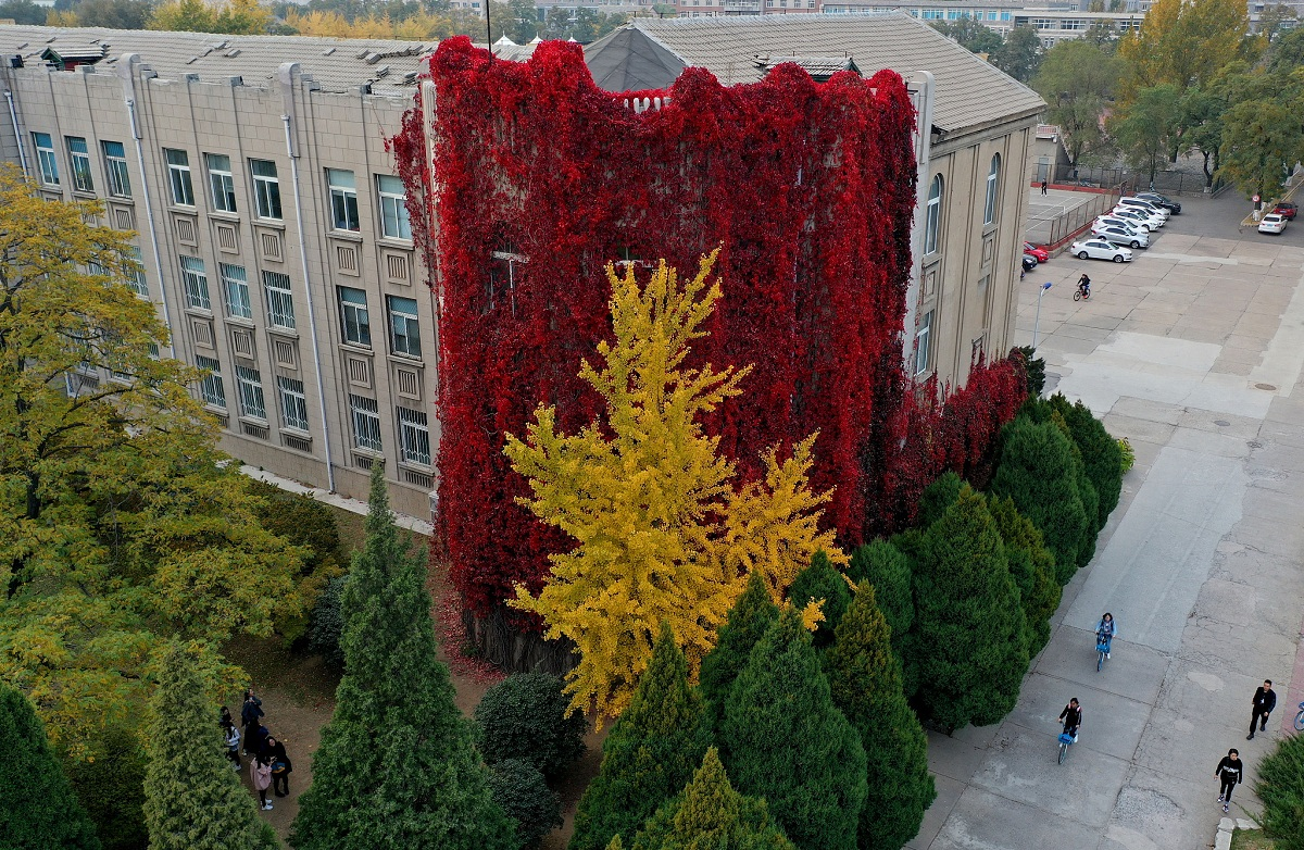 Ivy-covered wall at university turns red