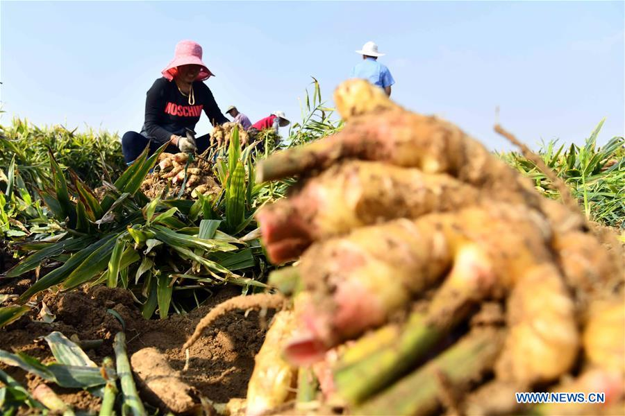 Farmers harvest ginger in China's Shandong