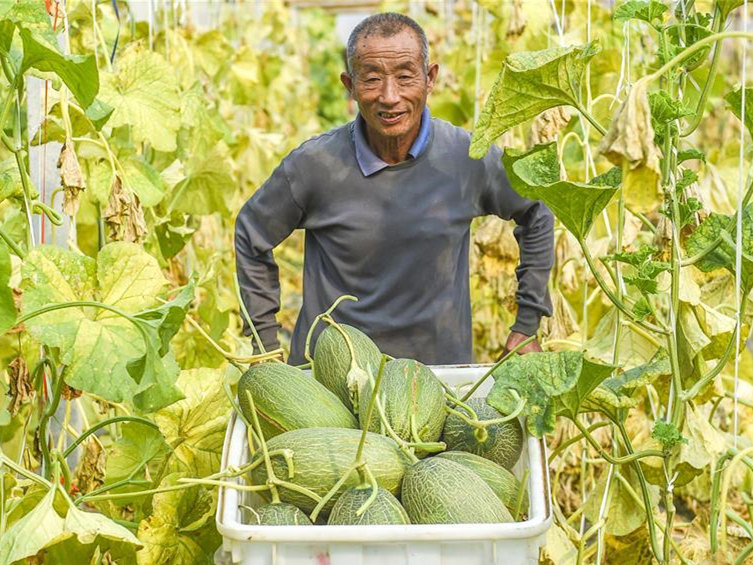 Hami melon varieties introduced to boost income