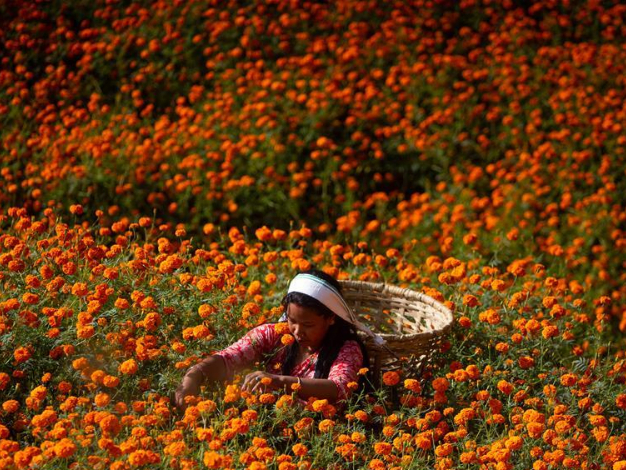 Nepalese girls collect marigold flowers for upcoming Tihar festival