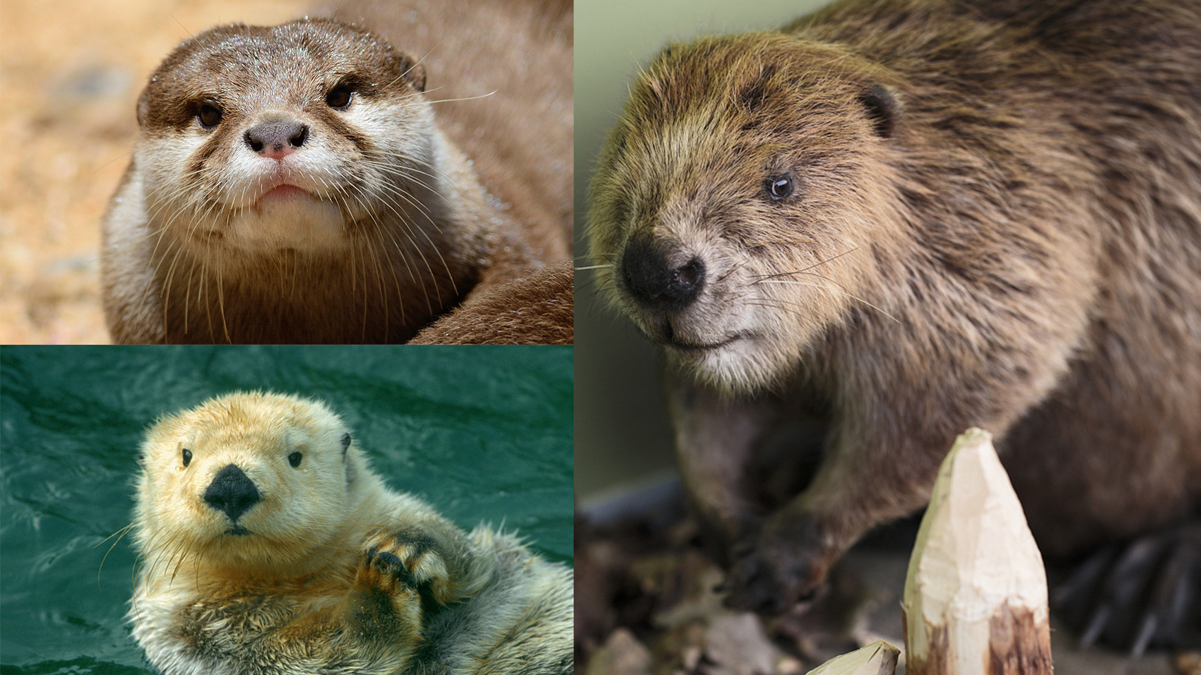 Spot the difference: Asian small-clawed otter, sea otter and beaver
