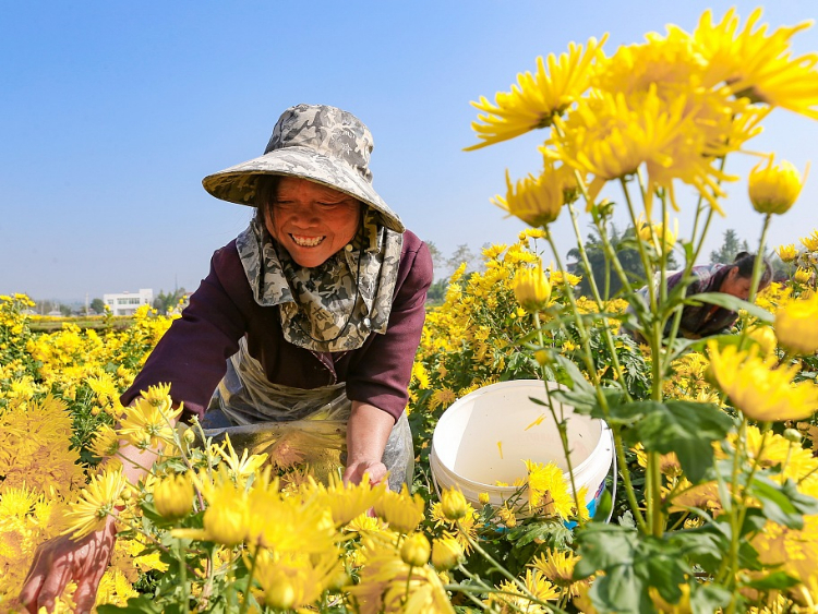 Farmers harvest chrysanthemums in SW China