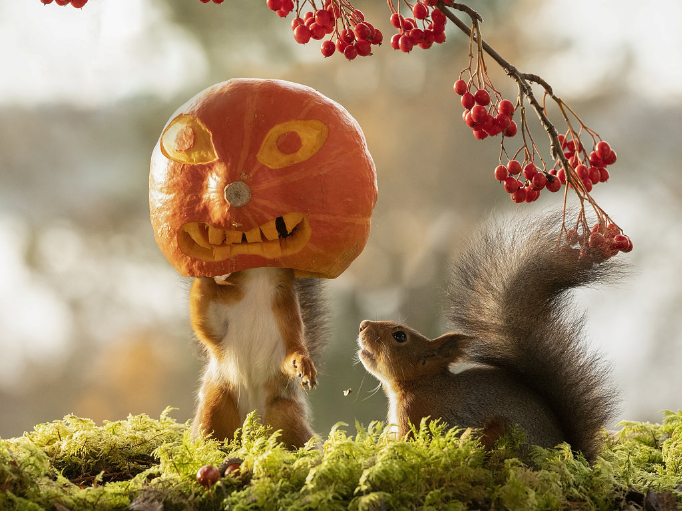 Squirrels playing with pumpkins for Halloween