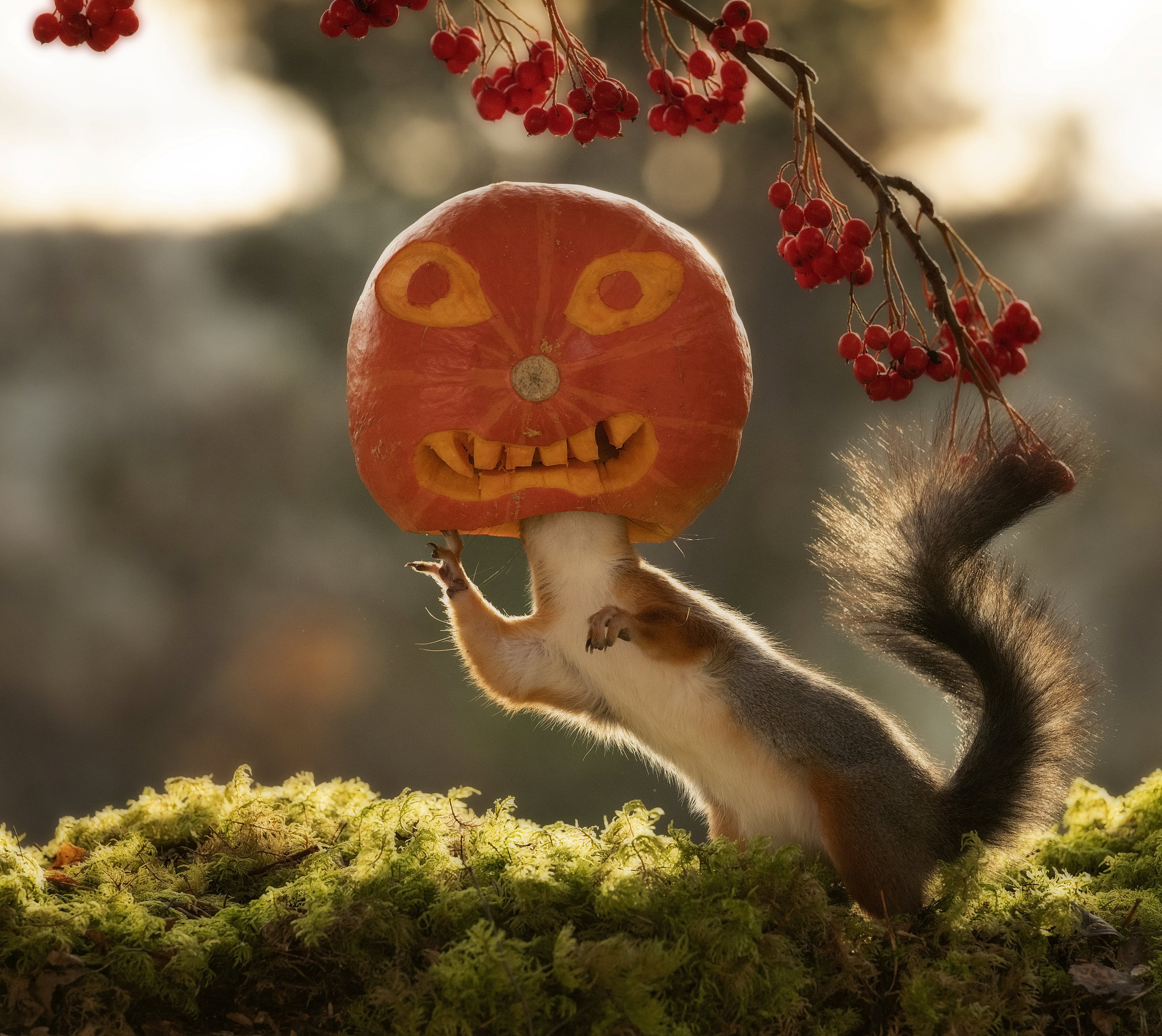 Squirrels play with a pumpkin just in time for Halloween