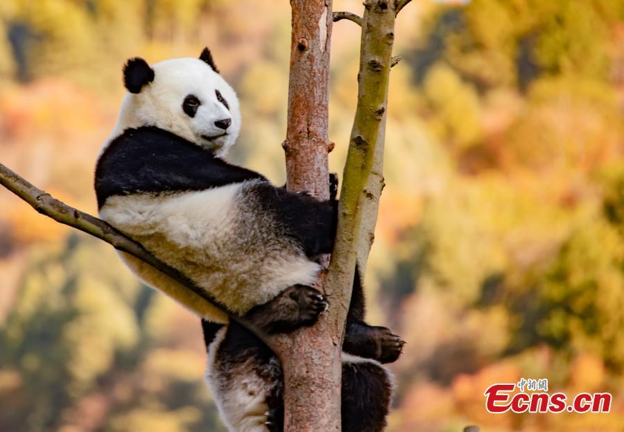 Giant pandas play in Wolong