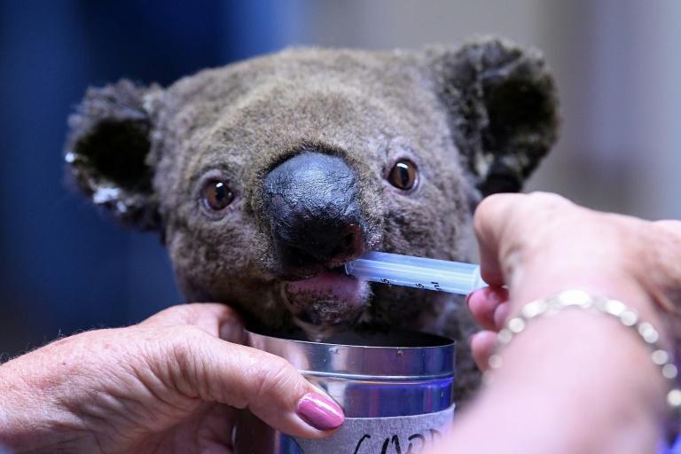 Koala 1.jpg