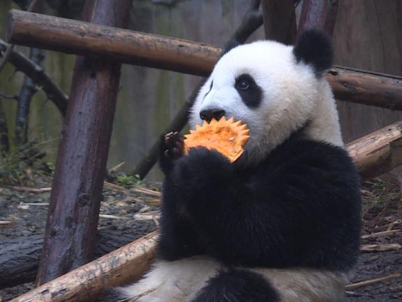 Pandas try pumpkins in breeding base