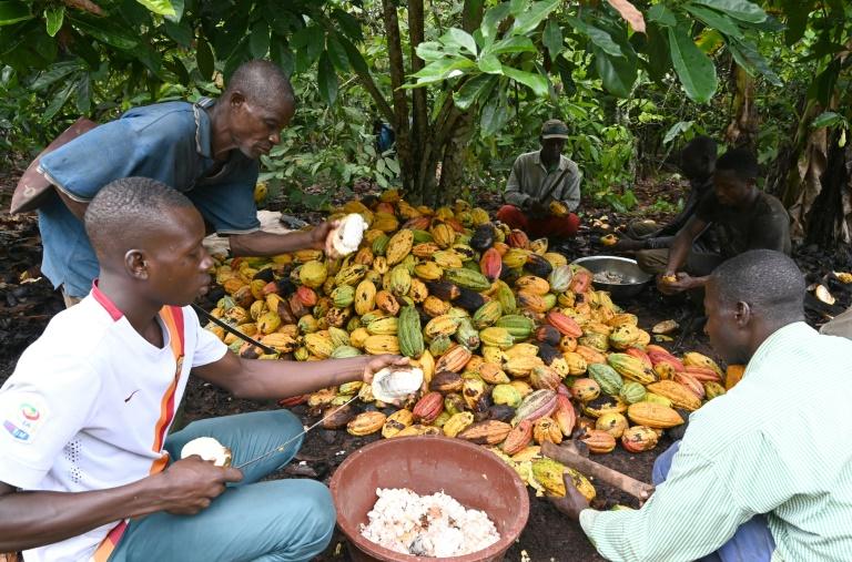 New cocoa deals help peasant farmers, but not enough