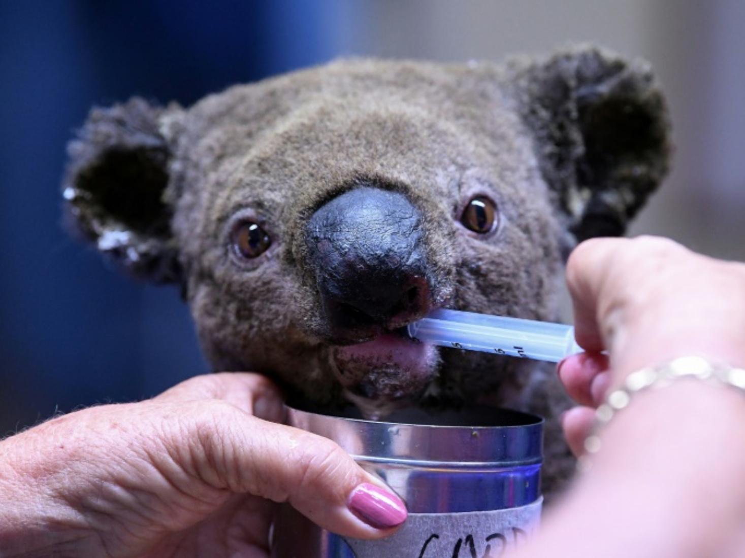 Two koalas rescued in Australia bushfire but fate of 100s unknown