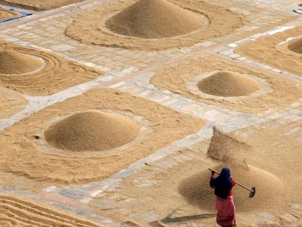 Nepali farmers winnow rice after harvesting in Bhaktapur
