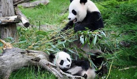 French zoo awaits permission to keep pandas