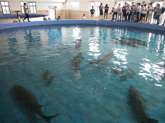 Record number of captive-bred Chinese sturgeons born in 2019