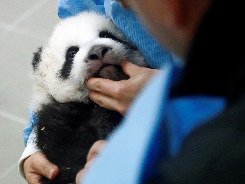 Belgian zoo's baby pandas celebrate their 3 months