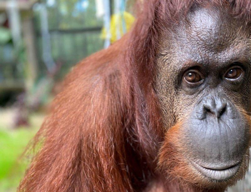 Orangutan granted 'personhood' settles into new Florida home