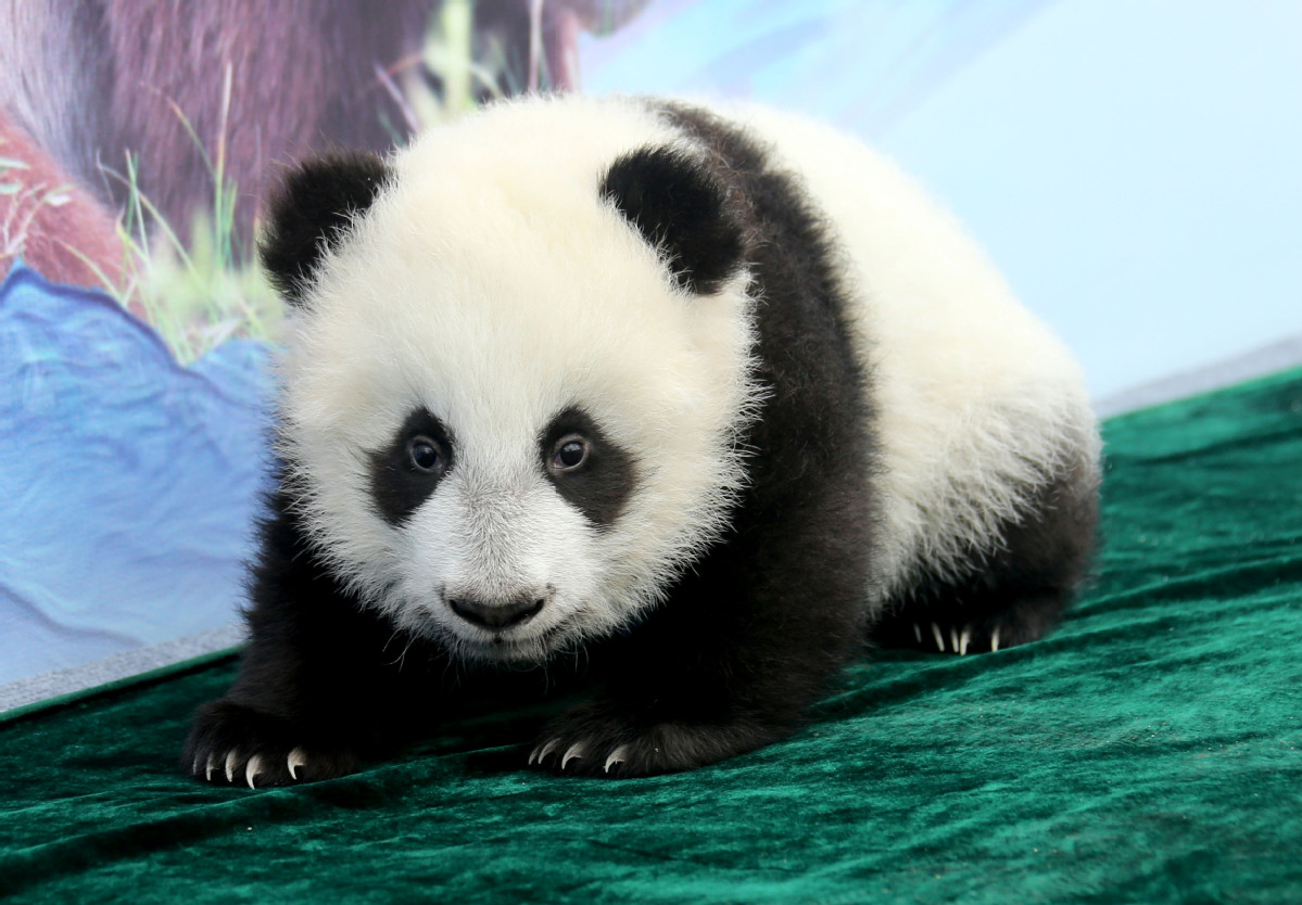 Xi'an pandas named, park unveiled in official ceremony