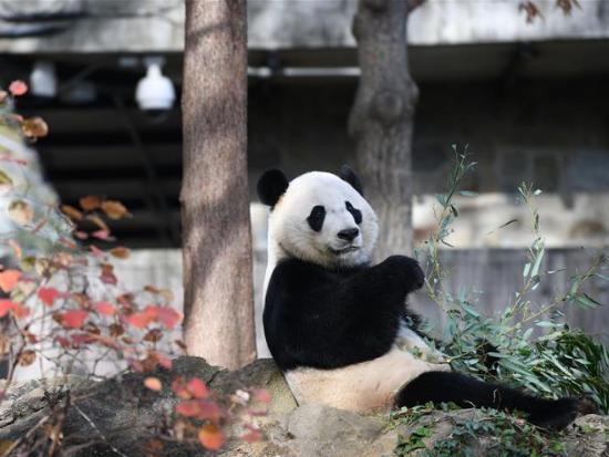 US national zoo begins weeklong goodbye to giant panda Bei Bei