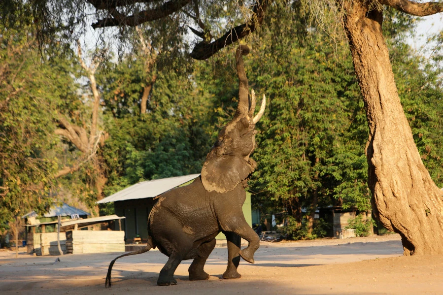 115 elephants die in Zimbabwe's largest game park due to drought