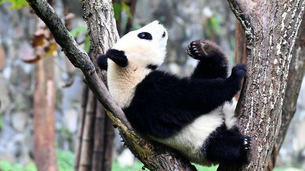 Captive pandas rise to 600 globally