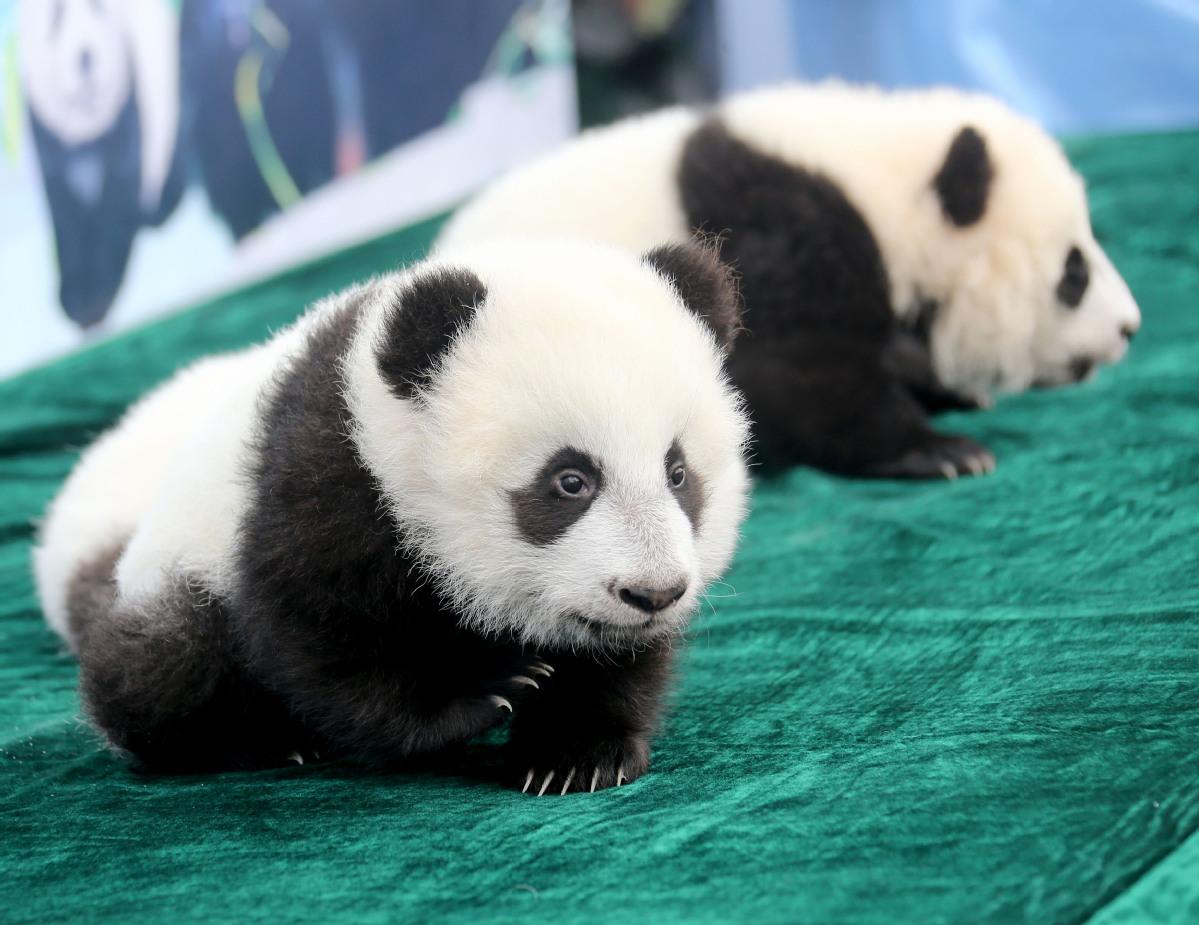 Number of captive pandas reaches 600 worldwide