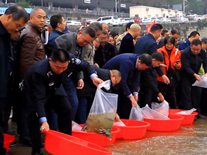 Half million rare fish released into Yangtze