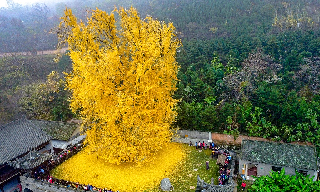 Xi'an's 1,400-year-old ginkgo tree goes viral on social media