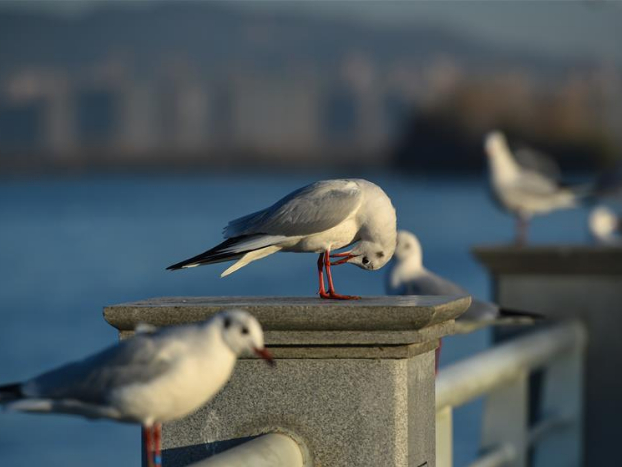 Black-headed gulls seen by bank of Dianchi Lake in Kunming