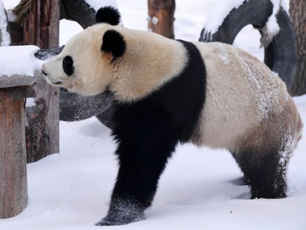 Giant panda enjoys itself outside panda hall after snow in Changchun