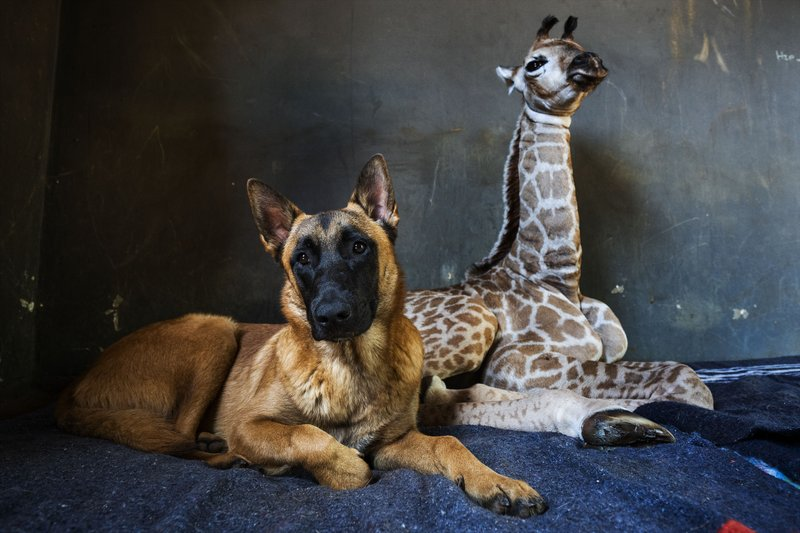 Dog befriends baby giraffe after abandoned in South Africa