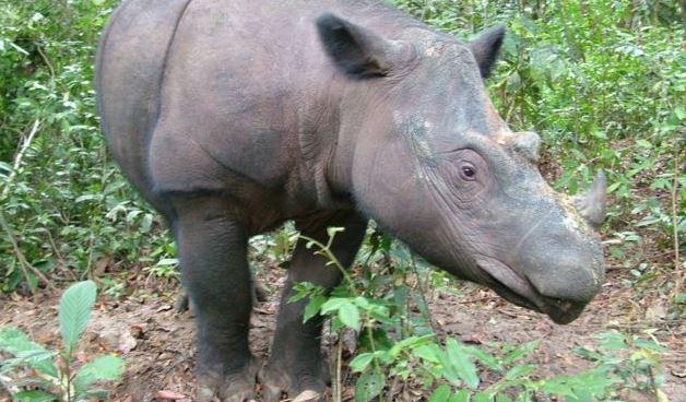 sumatran rhino (ap).jpg